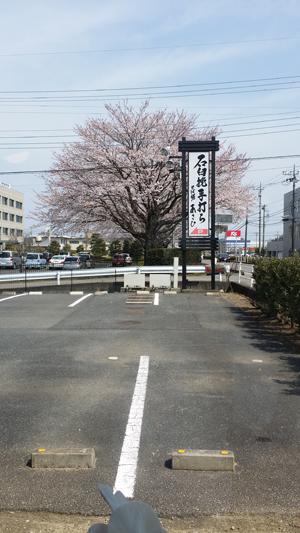 そば膳あさひ前の桜